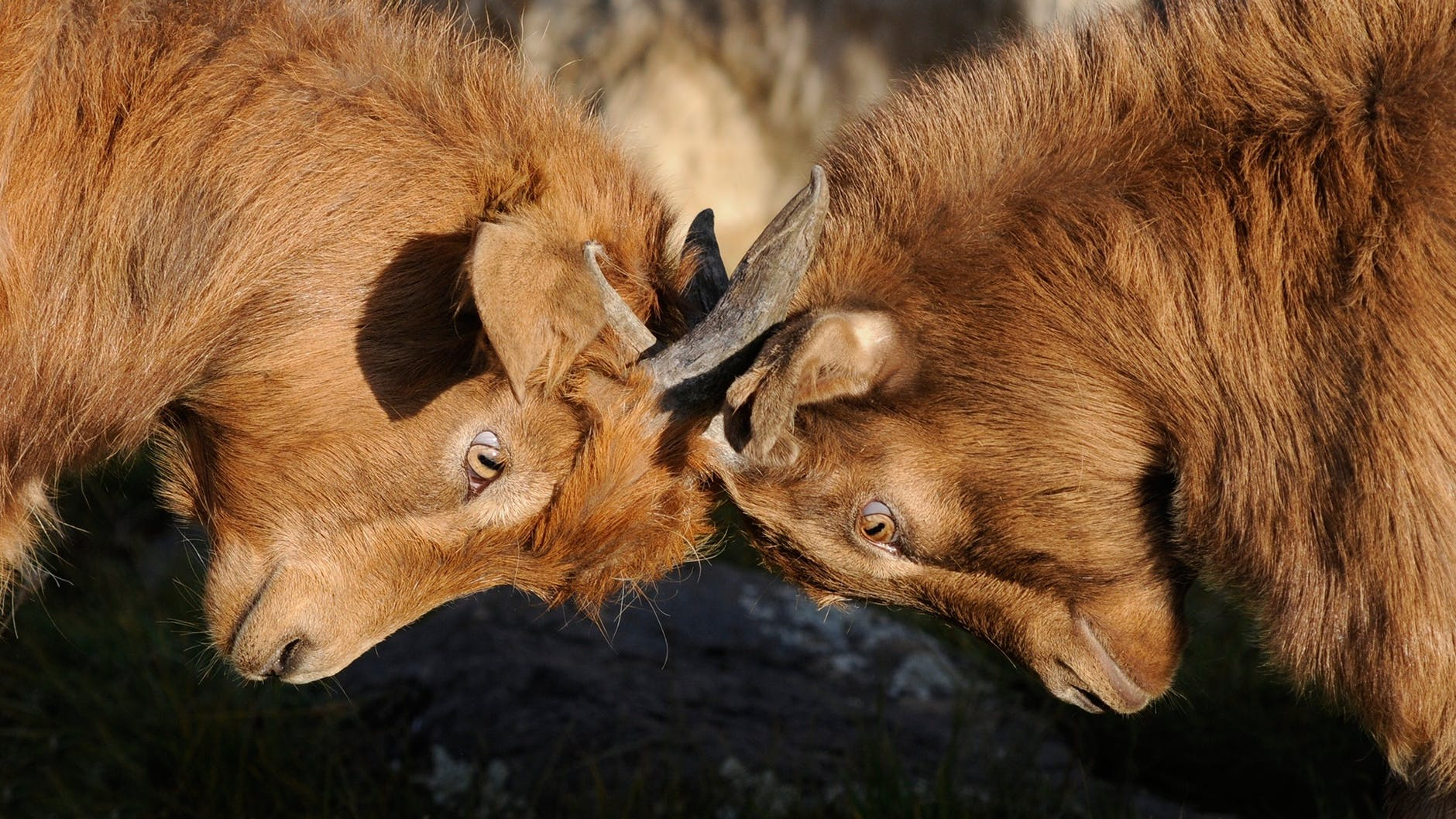 competition dispute goats